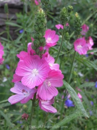 Pink Delphinium
