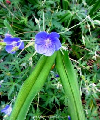 Purplish Blue Spiderwort