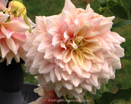 Pale Pink Dahlia