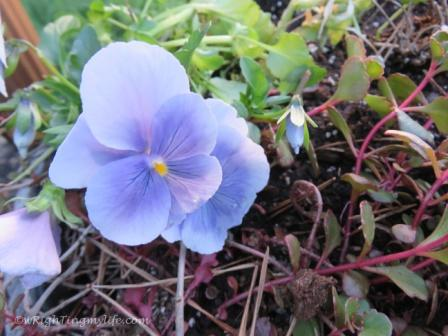 Pale Blue Pansy