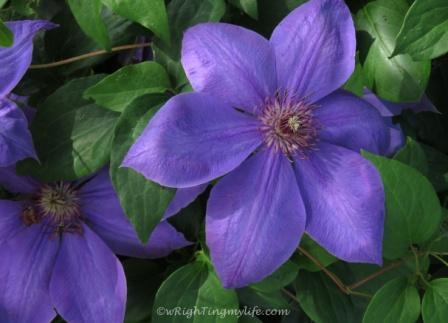 velvety deep purple clematis bloom