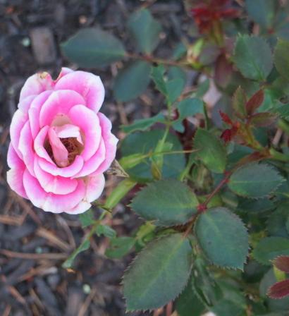 single pink rose on a bush