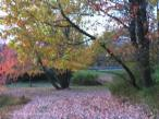 Autumn Maple Pathway WMC