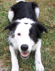 Happy black/white border collie