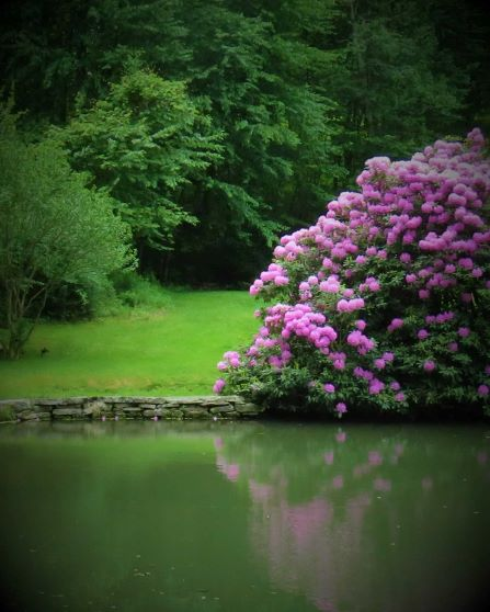 Giant bright pink rhododendron shrub reflected in the pond