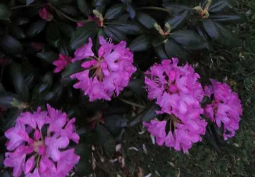 Rhododendron Blossoms Close-Up