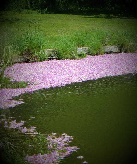 Pink rhododendron petals windswept in the pond