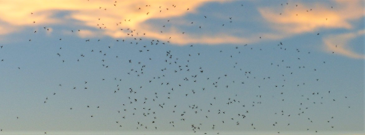 Swarming Mosquitoes, Gnats and Flies