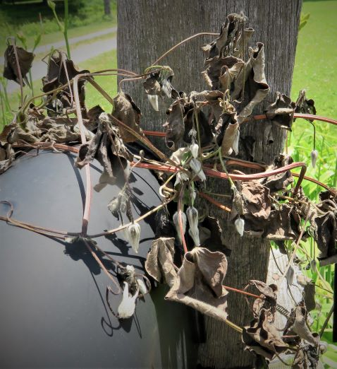 Wilted Clematis Buds on a mailbox