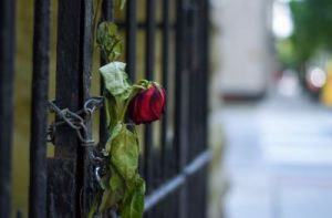 Locked up wilted red rose on metal fence