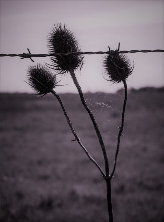 Thistle behind barbed wire in desolate land