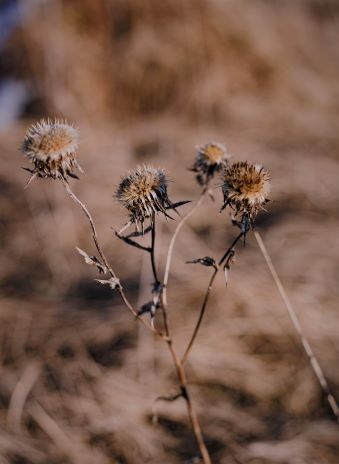 Dried out, dead thistle