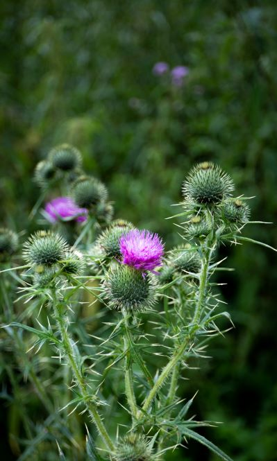 Thistles beginning to bloom