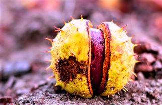 Spiny shell encasing an achene