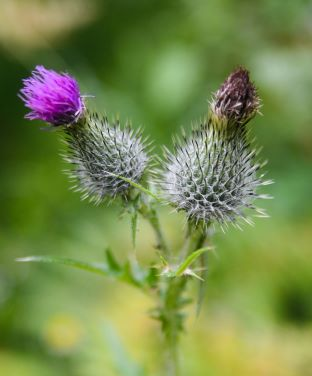 Pair of Thistles - one blooming, one dead