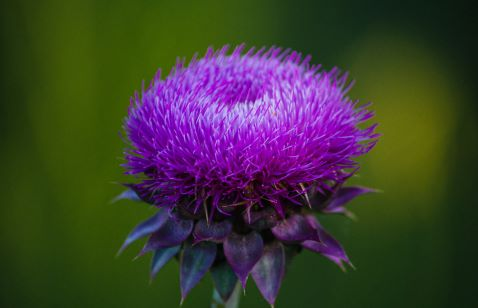 Glowing thistle
