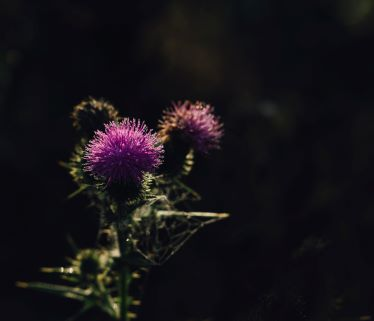 Thistle in the Dark