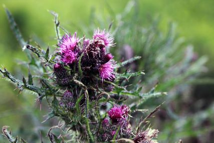A cluster of pinkish purple thorny thistles