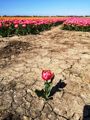 Single flower amidst compacted soil