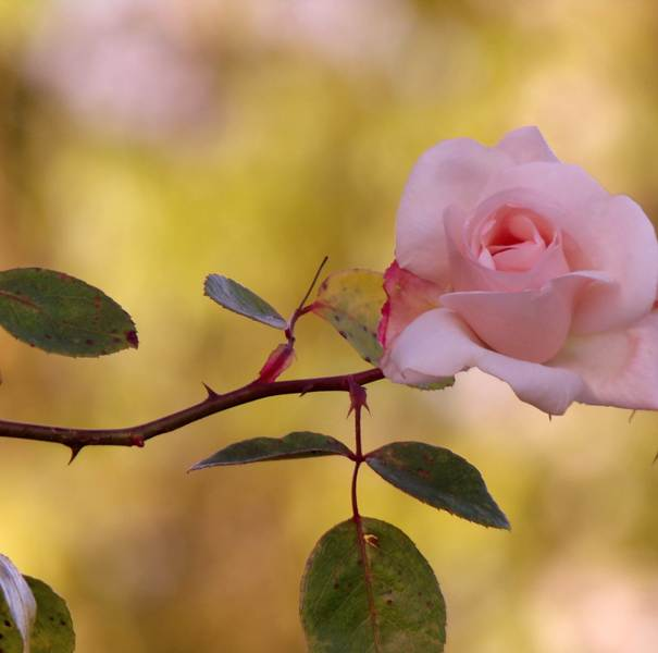 Pink rose on thorny stem