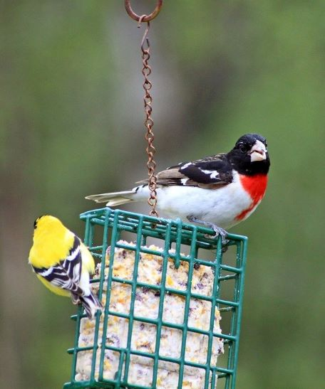 birds on suet feeder
