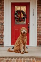 Goldendoodle waiting on doorstep