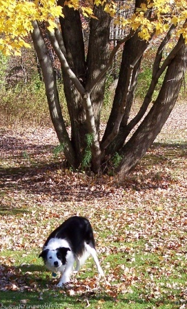 Border Collie waiting for Frisbee toss in autumn leaves