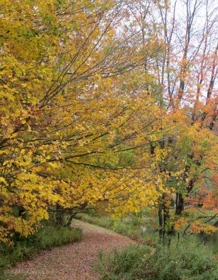 Brilliant autumn yellow maple tree on path