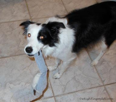 Border Collie with grey tug toy in her mouth