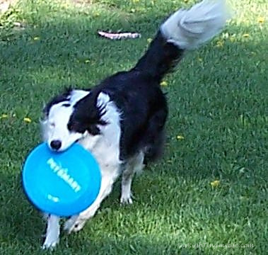 Border Collie running with blue Frisbee