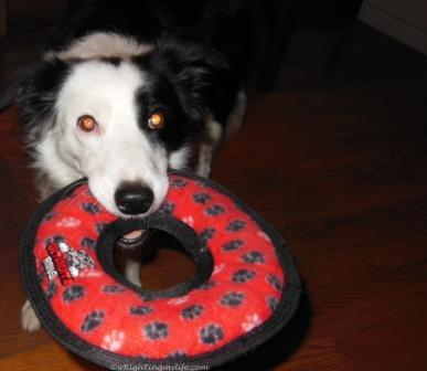 Border Collie with red circle Tug toy in her mouth
