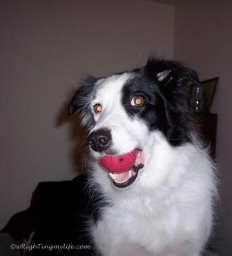 Border Collie with Red Ball in her mouth
