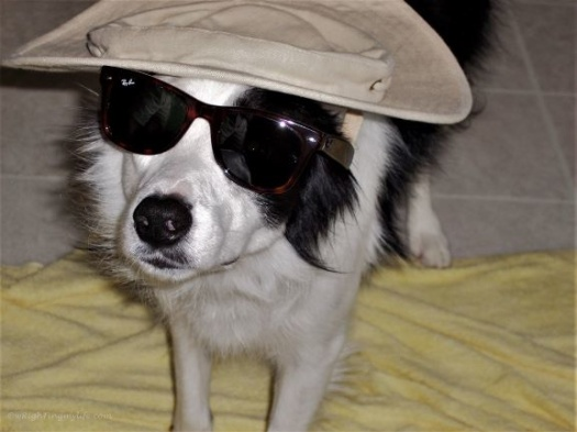 Border collie with sunglasses and sun hat standing on a yellow blanket