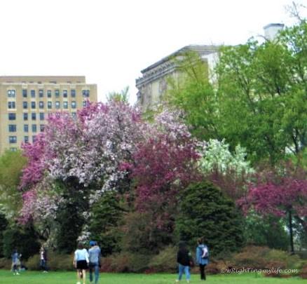 Cherry blossom trees in Brooklyn Botanical Gardens