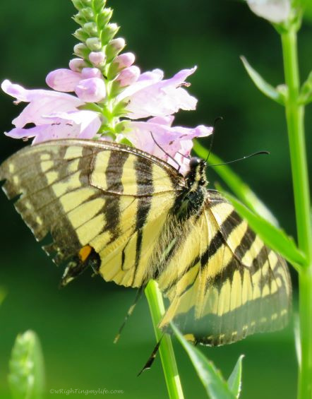 Close up of yellow and black butterfly on pink flower