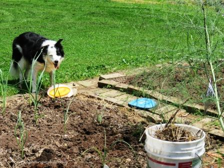 Weeding the Garden (and playing Frisbee wtih Border Collie)
