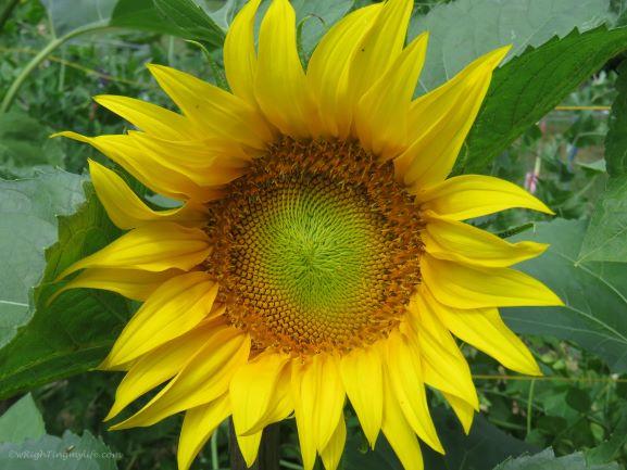 Closeup of bright yellow sunflower