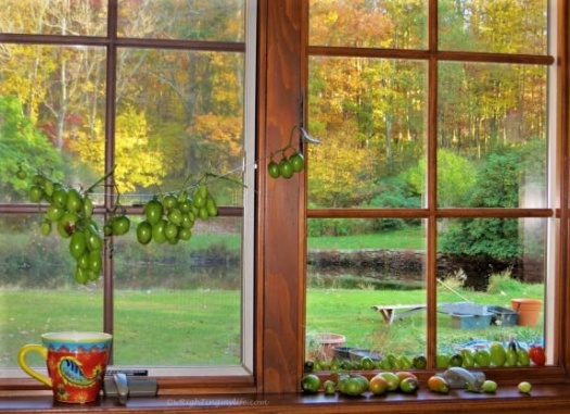 Kitchen window strung with green grape tomatoes overlooking autumn forest and garden tools in yard