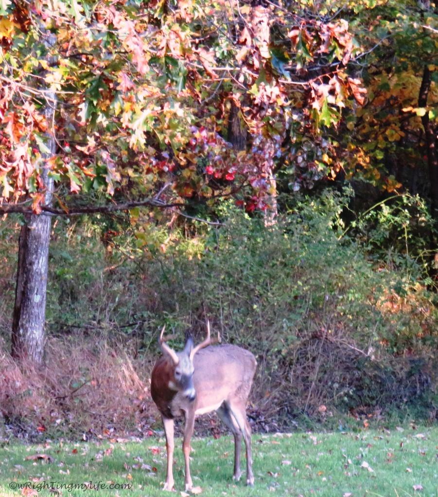 A Buck amidst autumn trees