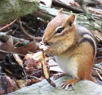 A chipmunk nibbling away