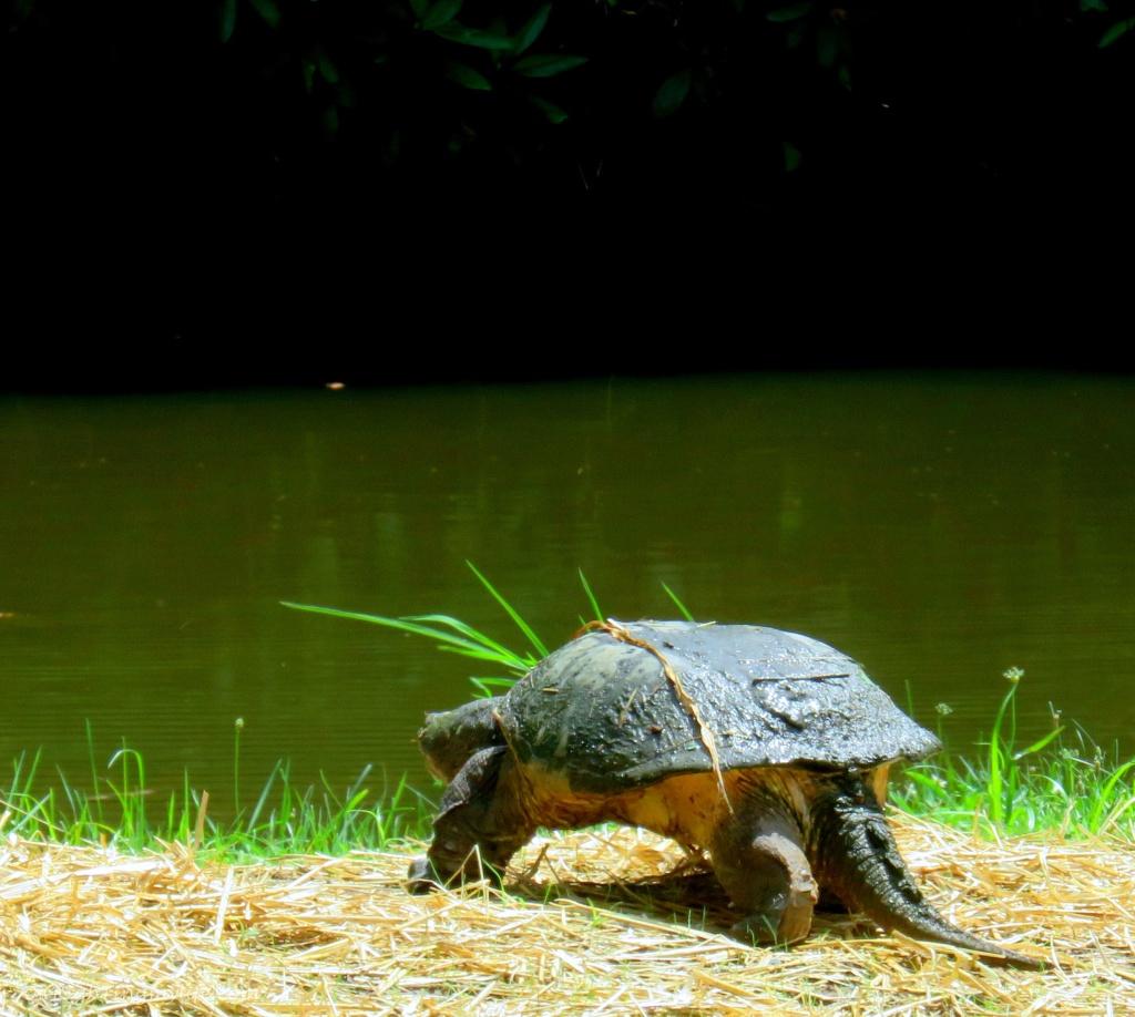 Tutle headed toward pond water