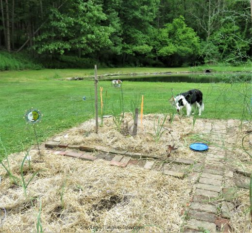 Laying straw to prevent weeds in the garden (and playing Frisbee with Border Collie)