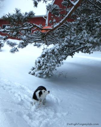 Border Collie looking in snow covered tree for her Frisbee