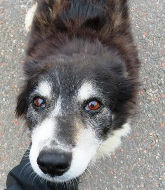 Aging Border Collie