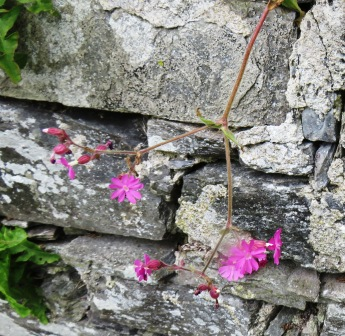 Pink Flowers at Balnakeil-celtic-monastery-cemetary
