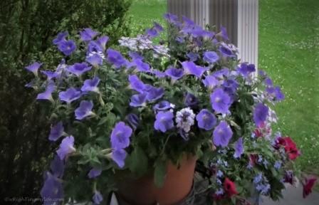 Purple Petunias