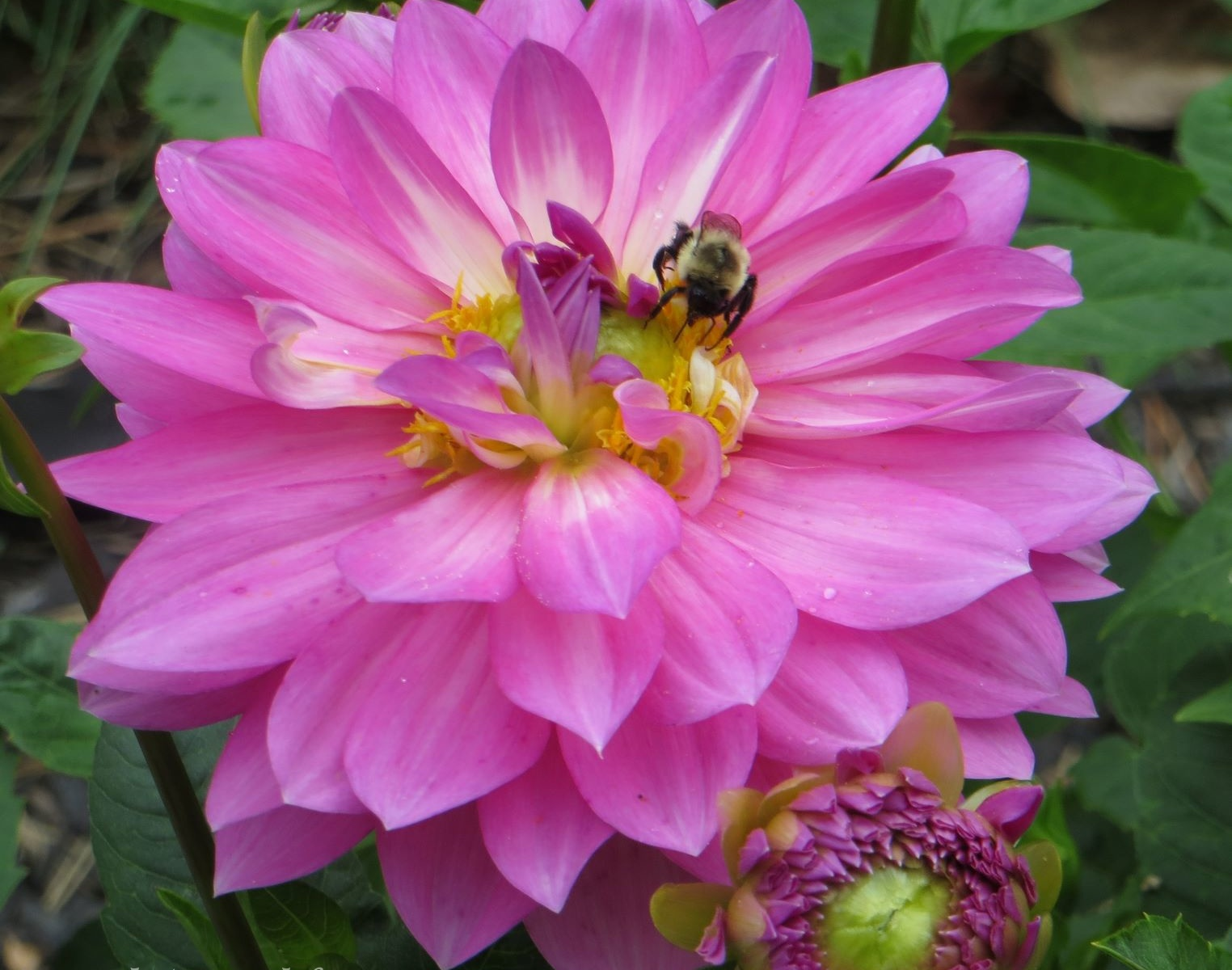 Buzzing bee on pink flower
