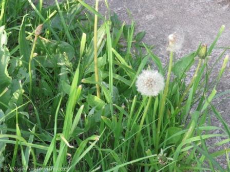 dandelion and a half