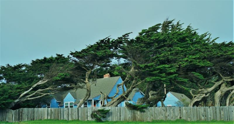 several trees adapting to grow over rooftops