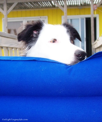Black and white border collie looking over blue barrier